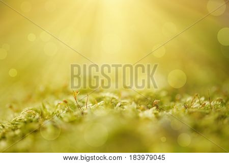 Green moss macro natural background with buds in the spring forest, seasonal new life eco concept