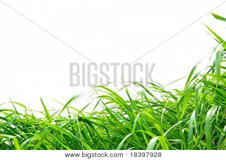 decorative grass isolated
