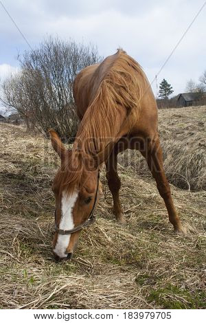 shot of the rural brown horse on dry grass