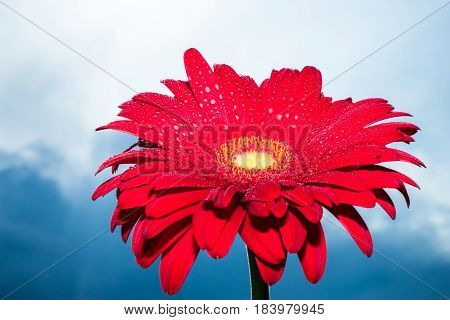 Beautiful red gerbera flower with blue sky background daisy flower in the rain