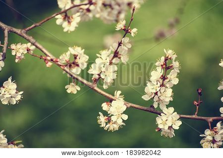 Apricot tree flower with buds and blossoms blooming at springtime, vintage retro floral background