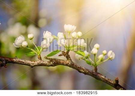 Apple tree flower blossoming at spring time, floral sunny natural background