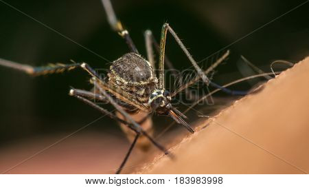 Macro of mosquito (Aedes aegypti) sucking blood close up on the human skin. Mosquito is carrier of Malaria Encephalitis Dengue and Zika virus