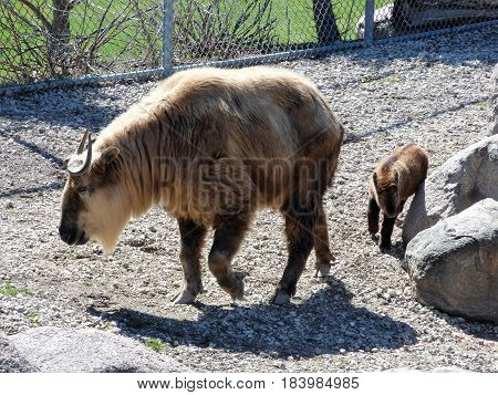 A takin with a new born calf following it's mother.