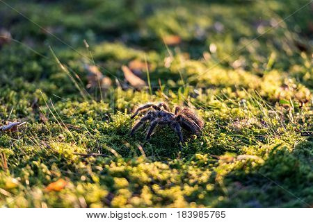 Animal close up photography. Tarantula walking outdoors.