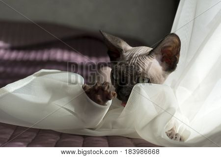 cat canadian Sphynx kitten is playing with the tulle on the bed claws eyes
