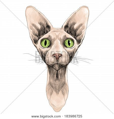 cat of breed the Sphinx head is symmetrical sketch vector graphics color picture