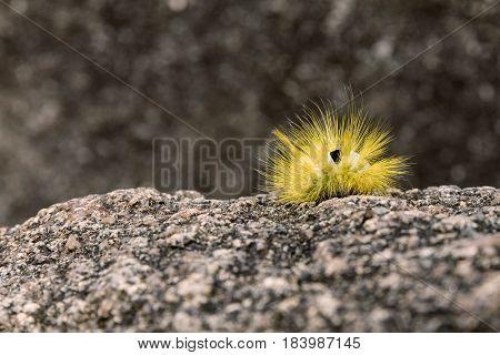 Yellow furry caterpillar on stone and blur background. Pale Tussock Moth Caterpillar - Dasychira pudibunda
