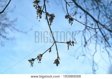 burgeons on tree branch springtime blue sky