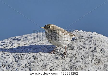 Water pipit in its natural habitat with blue skies in the background