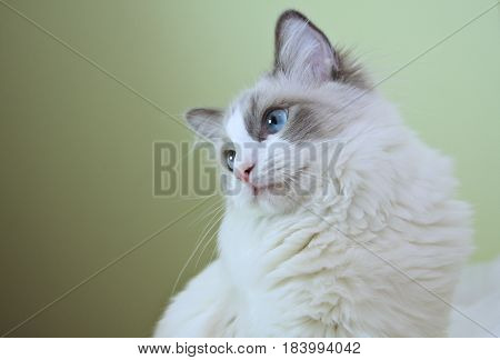 Ragdoll female and her beautiful blue eyes