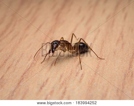 Close-up image of worker Carpenter Ant (Camponotus Sp.) cleaning body on wooden table
