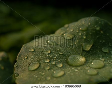 Close-up image of dew on Centella asiatica leaf (Asiatic leaf Asiatic pennywort or Indian pennywort) after the rain in the dark. It is native to wetlands in Asia. It is used as a culinary vegetable and as medicinal herb.
