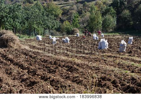 Harvesting potatoes on field. Gardening farming concept. Raw potatoes amid the countryside and fields
