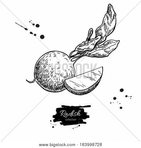Radish hand drawn vector illustration. Isolated Vegetable engraved style object wirh sliced pieces. Detailed vegetarian food drawing. Farm market product. Great for menu, label, icon