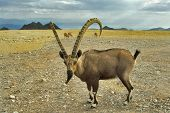 Herd of wild goats on a deserted mountain plateau about Eilat in Israel poster