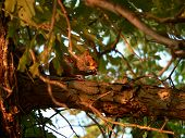 squirrel in tree eating an acorn. poster