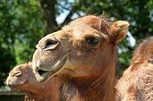 a picture of the face and head of a camel poster