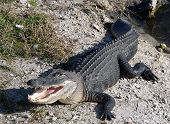 A ten foot alligator suns himself along a creek in Everglades National Park in Florida. poster