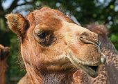 a close up of the face and head of a camel poster