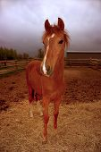 One year old Peruvian Foal in corral with a stormy sky approaching. poster