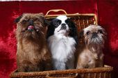 The group of dogs. Two of the Brussels Griffon, Japanese Hin poster