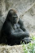 An huge male gorilla sitting back and thinking about something poster