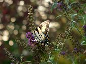 eastern tiger swallowtail on butterfly bush. poster