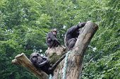 chimpanzee  family on top of tree poster