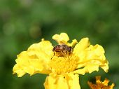 Insect on a yellow flower. poster
