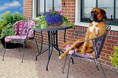 funny aristocratic looking dog on a terrace chair poster