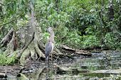 Great Blue Herson in River by Cypress Knees poster