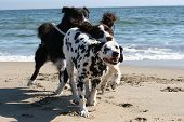 3 dogs running on the beach ** Note: Slight blurriness, best at smaller sizes poster