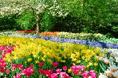 Colorful springflowers and blossom in dutch spring garden 'Keukenhof' in Holland poster