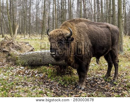 Big Auroch Standing In The Forest. The European Bison (bison Bonasus), Also Known As Wisent Or The E