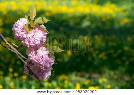 Pink Sakura Blossom Twig Above The Grassy Lawn With Yellow Dandelions Blurred In The Distance. Wonde