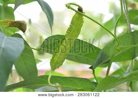 Winged Bean Pod, Psophocarpus Sp., Central Of Thailand
