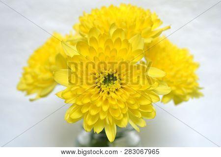 Yellow Chrysanthemums Flower, Chrysanthemum Sp., On White Background