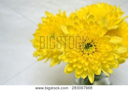 Yellow Chrysanthemums Flower, Chrysanthemum Sp., On White Background