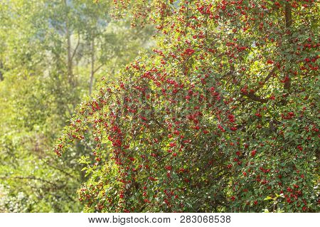 Midland hawthorn (Crataegus laevigata) tree with red berries, sun shining in background. poster
