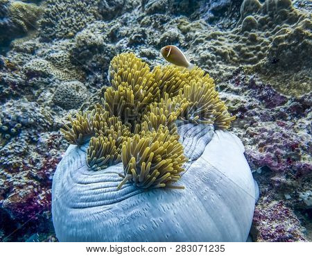 Anemonefish in large white anemone with yellow tentacles on coral reef in Palau. poster