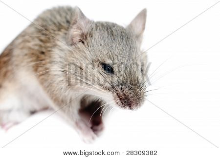 Micromys minutus mouse studio shot isolated on white poster