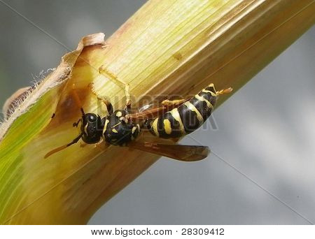 Yellow jacket hunting pollen
