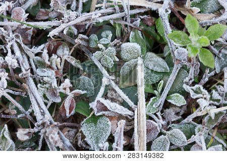 Winter Frost On Leaves And Grass Background.