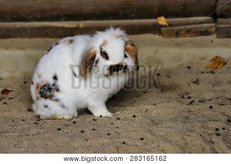 Full Body Of White-brown-black Domestic Pygmy Rabbit. Photography Of Nature And Wildlife.