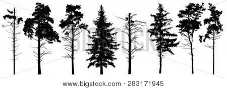 Coniferous Set Evergreen Tree With Branches Knots Sticks In Winter. Forest Trees Silhouette. Isolate