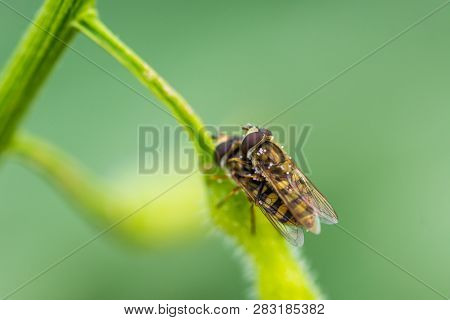 Syrphidae Insect Copulation On The Leaf. Yellow Insect On The Green Background. Macro Closeup View.