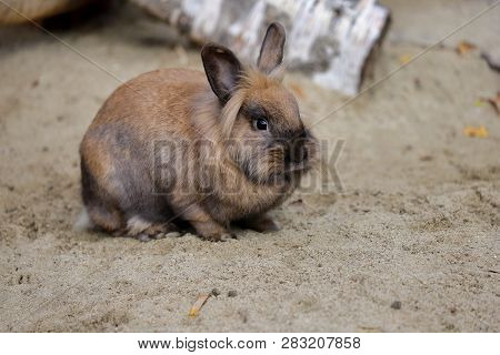 Full Body Of Smoky Brown Domestic Pygmy Rabbit. Photography Of Nature And Wildlife.