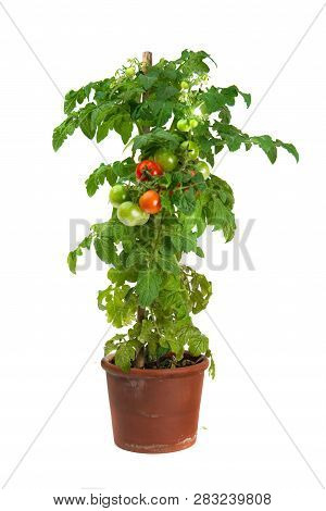 Tomato Plant Growing In A Flower Pot Isolated On White Background