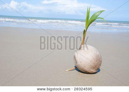 Coconut tree growing on empty tropical beach